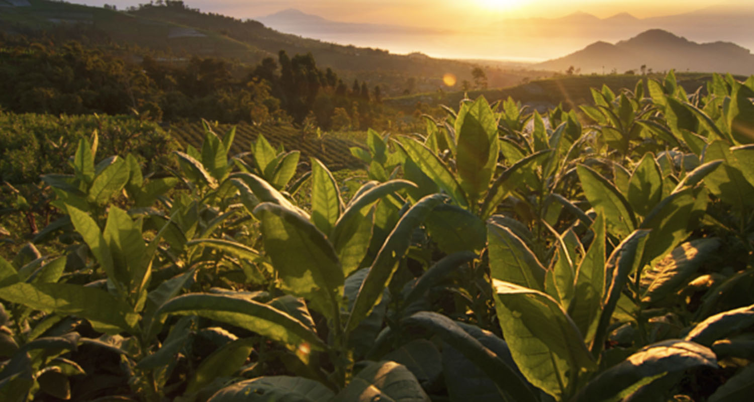 Nicotine as a smart drug: picture of tobacco plants at sunrise