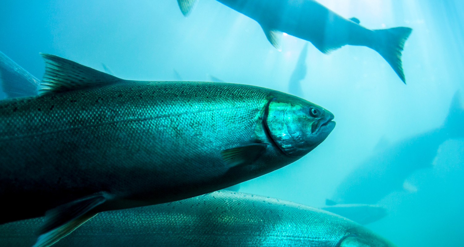 5 Reasons to Avoid Farm-Raised Salmon – and Why Wild Salmon Is Better