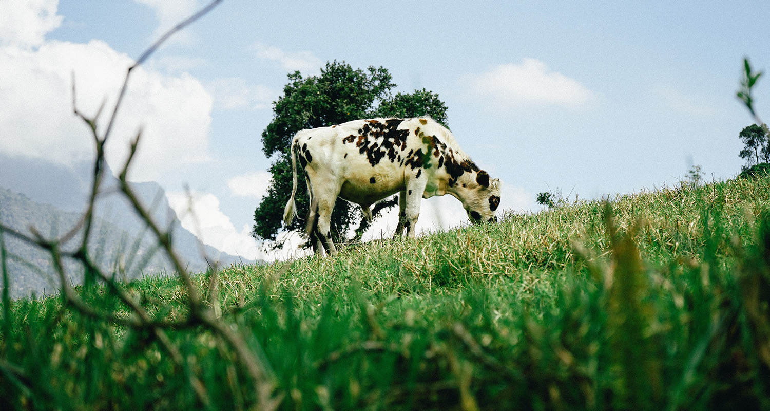 Cow grazing on green grass under blue sky